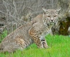 Bobcat - Wiki.jpg