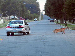 avoiding-car-deer-accidents.jpg