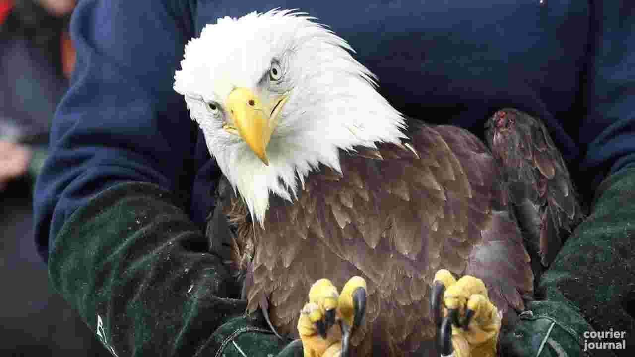 bald eagle rest.jpg