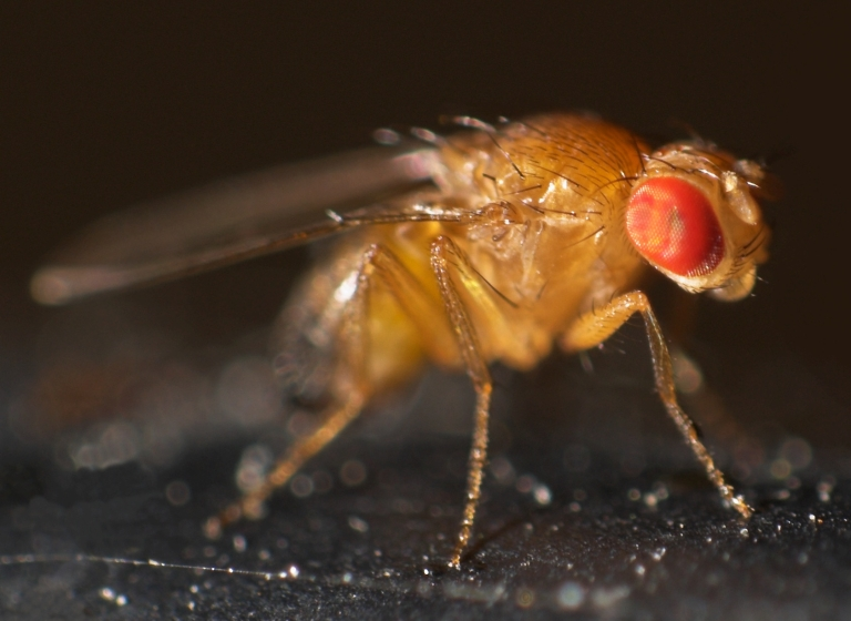 fruit flies 1.jpg