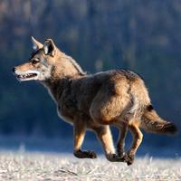 fw-coyote1.jpg