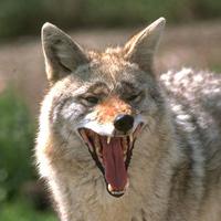 fw-coyote2.jpg