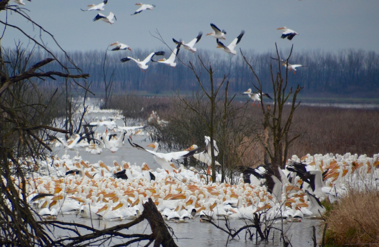 Marsh madness sandhill crane festival march 3 4 for Local pond stores
