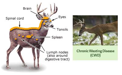 illustration-chronic-wasting-disease-deer.jpg