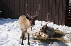 live reindeer.jpg
