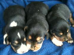 puppies_1379427145778_930625_ver1.0_320_240.jpg