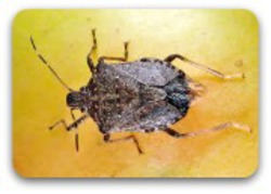 Brown Marmorated Stink Bug.jpg