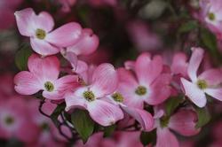 dogwood-flowers-14.jpg