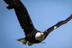 old-bald-eagle.jpg