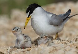 Mom-w-Least_Tern_Chicks_Day_2.jpg