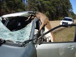 deer-accident-3.jpg