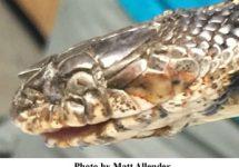 snake-fungal-disease-215x150.jpg