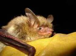 long eared bat.jpg