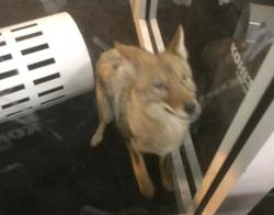 coyote-in-vestibule2.jpg