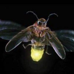 says-firefly-200x200.jpg