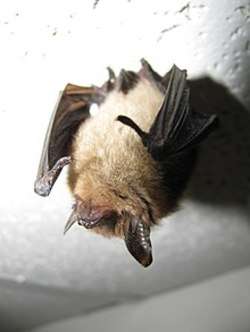 long ear bat.jpg