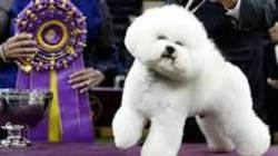 Flynn the bichon frise.jpg