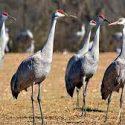 Large flocks of sandhill cranes at Jasper-Pulaski Fish & Wildlife Area